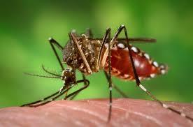 mosquito que transmite la fiebre amarilla