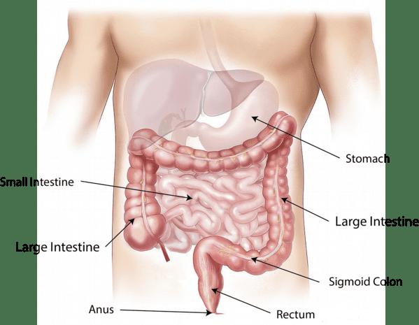 cuanto dura la digestión